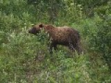 Grizzly Bear Killing Another Grizzly Bear: Photo Series 94 Set To Folk Music