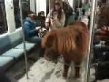 16 Year Old Girl Brings Horse Pony On Train