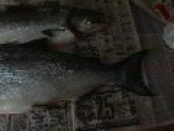 2 King Salmon I Caught On Sunday 6-16