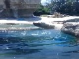 Polar Bear Showing His Wicked Basketball Skills Dribbling In Water