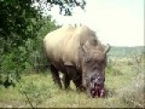 Horrifying Video Of A Rhino That Has Had Its Horn Hacked Off SHOCKING