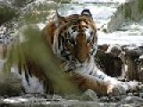 Tigress Killed, Hacked Into Pieces In Itanagar Zoo