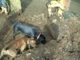Using Dogs To Kill Rats In The Farm