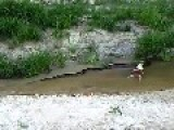 Anaconda Snake Pukes Out A Cow In A Jungle River