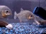 Piranhas Brutally Killing And Eating Frog