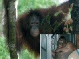 Pony The Orangutan, Village Prostitute, Freed After Imprisonment In Borneo