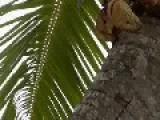 Australia And Madagascar Coconut Crab