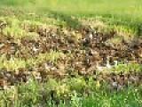Asian Duck Parade