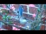 Blue Wren WRESTLING!!!