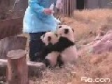 Baby Panda Begs For Milk