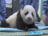 Baby Panda Gets An Exam