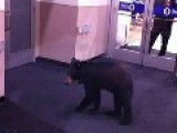 Black Bear Walks Into A Sears To Go Shopping