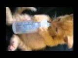 Baby Kitten Drinking From A Baby Bottle