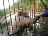 Bear Timofei Dances And Been Shy For Food