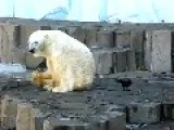 Crow Trolls A Polar Bear