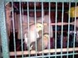 Cockatiel Having Sex Then Whistling Whistle While You Work