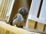 Cute Owl Hunts Invisible Prey