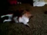 Chow Chow Destroy's A Beagle