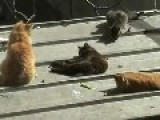 Cat Gang-Bang