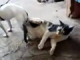 Dog Stuck In Unhappy Cat During Animal Sex