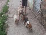EL PERRO PASEADOR DE PERROS Dog Walker