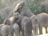 Elephant Mating Is Like A Festival To The Rest OfHerd