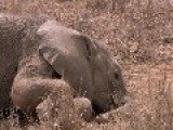 Female Elephant Stays With Dying Calf