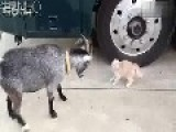 Fierce Kitten Vs Goat