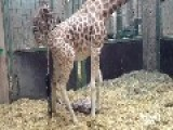 Giraffe Giving Birth In Zoo