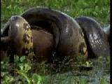 Huge Anaconda Eats A Big Capybara