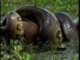 Huge Anaconda Eats A Big Capybara