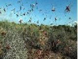 Israel Escapes Locust Plague — For Now