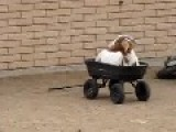 I Take Your Russian Couch Surfers And Raise You One Goat-Cart!
