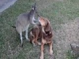 Kangaroo And Dog Caught Kissing!!