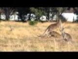 Kangaroo Kick Boxing Match