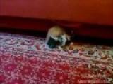 Kitten Vs. Bunny Wrestling Match