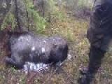 Moose Hunting In Norway