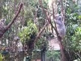 Mother Koala Helps Junior