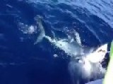 Meanwhile In Australia...a Shark Cops A Punch To The Head