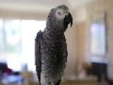 Neo The African Gray Parrot Says I Love You And More