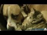 Pitbull VS Kitten Real Love Real Fights - Thanks For The Original Posting, Stfu Donny!