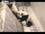 Panda RAPED LIVE!!!!