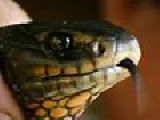 Pom Jackson Scott Bitten On Testicle By Killer Snake, Friend Would Not Suck Out The Poison
