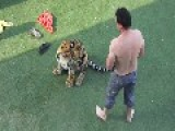Pet Tiger: Little Fight With Enzo