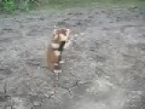 Russian Hamster Thinks He's A Honey Badger,I Believe Him