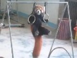 Red Panda Training For Olympics!