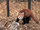 Red Panda Stares Into Your Soul