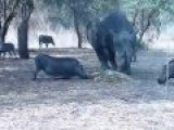 Rhino - Don't Mess With His Food Sends Warthog Airborne