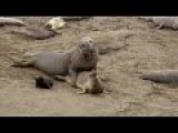 Romantic Male Elephant Seal Viciously Tries To Mate Unsuccessfully