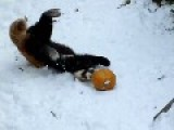 Red Panda - Dont Play With Your Food !